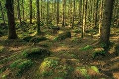 Foresta selvaggia Fotografie Stock Libere da Diritti
