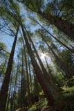 Foresta sempreverde fotografia stock