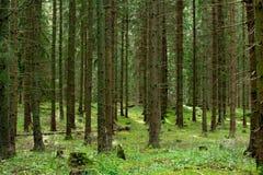 Foresta senza fine dell'abete Fotografia Stock