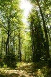 Foresta soleggiata Immagine Stock
