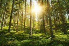Foresta soleggiata Fotografia Stock