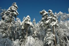 Foresta soleggiata della neve Fotografie Stock Libere da Diritti