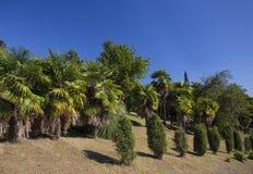 Foresta soleggiata della palma Fotografie Stock Libere da Diritti