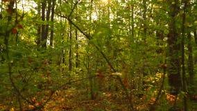 Foresta soleggiata di autunno e foglie cadute, colpo liscio dello steadicam stock footage
