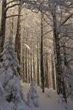 Foresta soleggiato di Le Drumont, nevoso e, i Vosgi, Francia Fotografia Stock Libera da Diritti