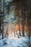 Foresta sotto neve alla sera soleggiata immagini stock libere da diritti