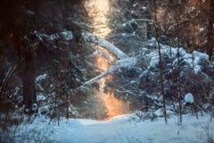 Foresta sotto neve alla sera soleggiata immagini stock