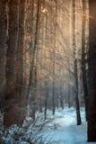Foresta sotto neve alla sera soleggiata immagine stock libera da diritti