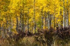 Foresta spessa dell'Aspen nella caduta Fotografie Stock
