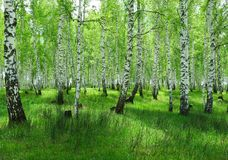 Foresta-steppe di estate Immagine Stock