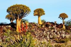 Foresta su Rocky Hill, sera, Namibia dell'albero del fremito Fotografia Stock Libera da Diritti