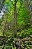 Foresta su un pendio di alta montagna Fotografie Stock Libere da Diritti