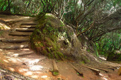 Foresta subtropicale in Tenerife, isole Canarie, Spagna Fotografie Stock Libere da Diritti