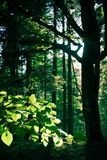 Foresta Sunlit Fotografia Stock