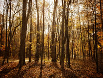 Foresta Sunlit Fotografia Stock Libera da Diritti