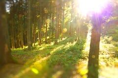 Foresta Sunlit Fotografie Stock Libere da Diritti