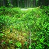 Foresta svedese Immagini Stock Libere da Diritti