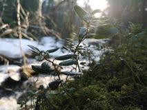 Foresta svedese fotografia stock