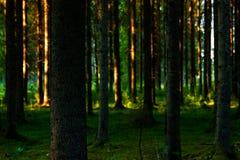 Foresta svedese nell'incandescenza di sera immagini stock libere da diritti