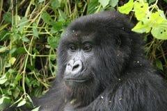 Foresta tropicale animale del Ruanda Africa della gorilla selvaggia Fotografia Stock