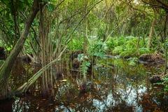 Foresta tropicale con gli alberi della mangrovia che crescono nell'acqua Fotografia Stock