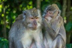 Foresta Ubud della scimmia in Bali Indonesia Fotografia Stock