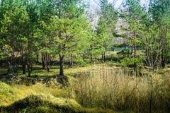 Foresta ucraina Fotografia Stock Libera da Diritti