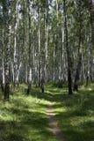 Foresta, un boschetto, Immagini Stock Libere da Diritti