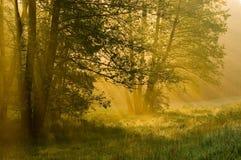 Foresta in una nebbia Immagine Stock