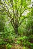 Foresta ungherese Immagine Stock Libera da Diritti