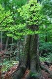 Foresta verde Fotografie Stock