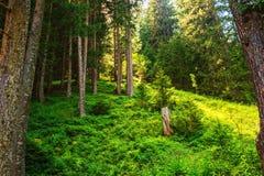 Foresta verde in alpi svizzere Immagine Stock