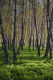 Foresta verde armena Fotografie Stock