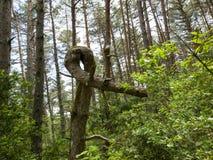 Foresta verde del pino Fotografie Stock Libere da Diritti