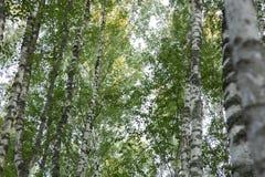 Foresta verde della betulla immagini stock libere da diritti