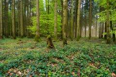 Foresta verde della molla nei raggi del sole Immagini Stock Libere da Diritti