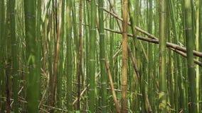 Foresta verde di bamb? in Alishan che fa un'escursione area, traccia storica di ruitai in Taiwan archivi video