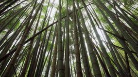 Foresta verde di bamb? in Alishan che fa un'escursione area, traccia storica di ruitai in Taiwan stock footage