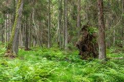 Foresta verde dopo l'uragano con l'albero rotto Immagine Stock