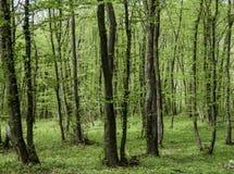 Foresta verde in primavera Immagini Stock Libere da Diritti