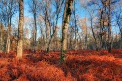 Foresta vibrante della betulla di autunno Fotografie Stock Libere da Diritti