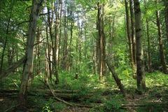 Foresta vuota Fotografia Stock