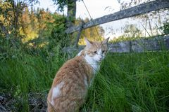Forestcat im Wald in der goldenen Stunde in hedmark Grafschaft Norwegen stockfotos
