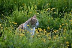 Forestcat im Wald in der goldenen Stunde in hedmark Grafschaft Norwegen lizenzfreie stockbilder