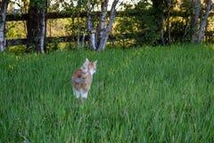 Forestcat im Wald in der goldenen Stunde in hedmark Grafschaft Norwegen stockfoto