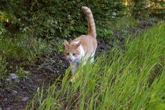 Forestcat im Wald in der goldenen Stunde in hedmark Grafschaft Norwegen lizenzfreie stockfotos