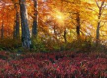 Foreste alpine dorate Immagini Stock