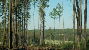 Foreste attillate infestate ed attaccate dall'ips typographus del parassita dello scarabeo di corteccia dell'abete rosso, calamit video d archivio
