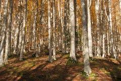 Foreste Casentinesi, Monte Falterona, Campigna National Park Stock Photo