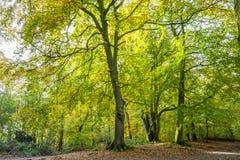 Foreste con gli alberi di faggio maturi nella proprietà Groenendaal del paese anziano Fotografia Stock Libera da Diritti